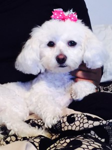 fluffy white dog with pink bow