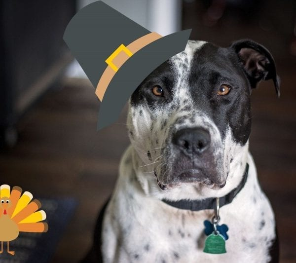 dog with cartoon Thanksgiving hat and turkey for the holidays