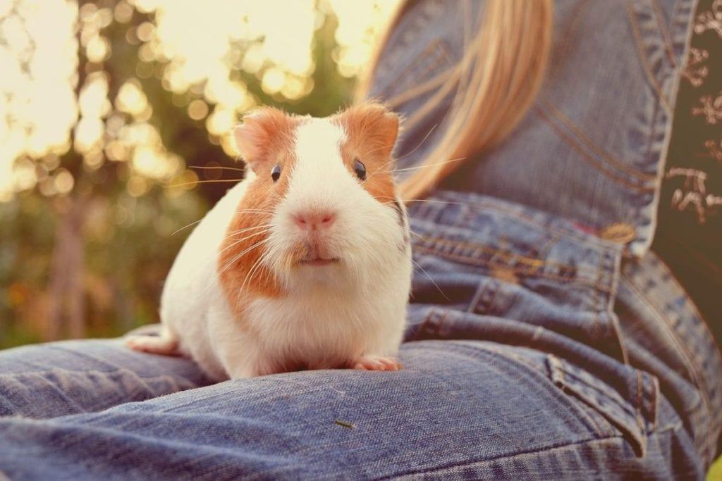 adopting guinea pig as a pet