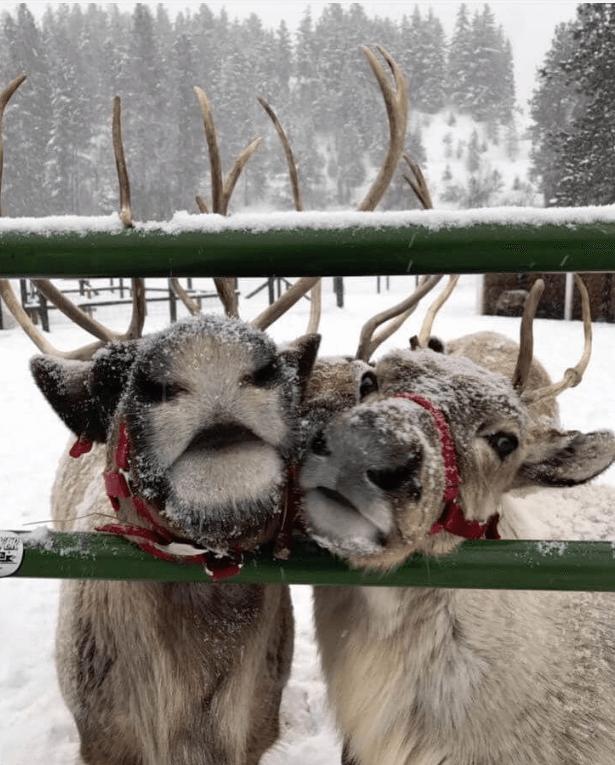 reindeer at Leavenworth, Washington in the winter